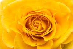 Shooting near a flower yellow rose closeup Royalty Free Stock Photos