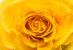 Shooting near a flower yellow rose closeup Royalty Free Stock Photography