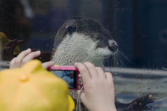 Shooting of otter. Child shooting otter in aquarium Royalty Free Stock Images