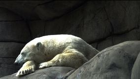 Polar bear resting on the stones. Shooting a polar bear. Rest and sleep bear on the stones stock video
