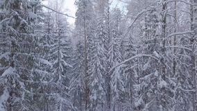 Shooting snow-covered forest. Movement of the camera from the bottom up. In the distance the sun is visible on the horizon stock footage