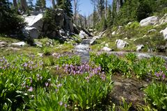 Shooting star purple wildflowers at the base of a creek along the Sawtooth Lake trail in Idaho.  stock photos