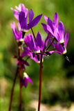 Shooting Stars - Oregon Wildflowers Royalty Free Stock Images