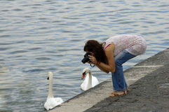 Shooting the swans. A young woman, beside a lake, photographs the swans Stock Images