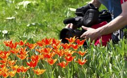 Shooting of tulips. TV operators for the shooting of tulips Stock Image