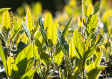 Shooting Up. Sunlight falls on the green leaves of a garden hedge royalty free stock image