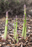Shoots of asparagus. Stock Photos
