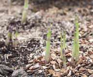 Shoots of asparagus. Royalty Free Stock Images
