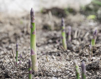 Shoots of asparagus. Royalty Free Stock Photo
