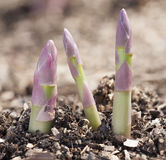 Shoots of asparagus. Growing process of asparagus shoots Stock Photography