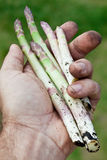Shoots of asparagus in man's hand. Royalty Free Stock Image