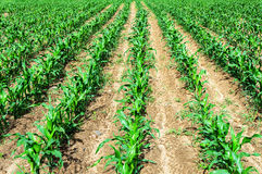 Shoots of corn on the field Royalty Free Stock Photos