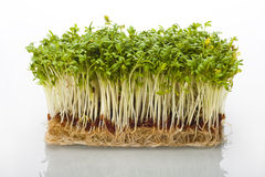 Shoots of cress Royalty Free Stock Photo