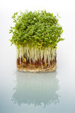 Shoots of cress Royalty Free Stock Photography