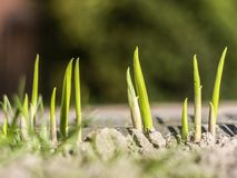 Shoots of flowers germinate from the ground. Grass vitality dry outdoor disaster raise land macro plant growth erosion flora braird soil nobody rainless torrid stock photo