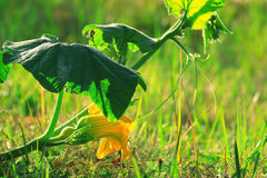 Shoots and flowers of pumpkin Royalty Free Stock Photo