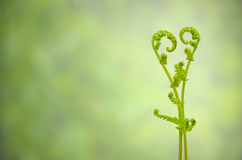 Shoots of ivy align to heart sign Royalty Free Stock Image