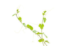 Shoots of ivy Stock Photography