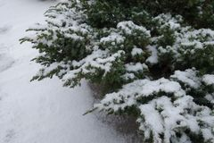 Shoots of Juniperus squamata covered with snow. In winter Stock Photography