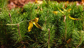Shoots mountain spruce Stock Image