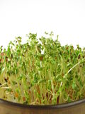 Shoots from red clover and cress Stock Photo