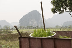 Shoots of rice. Nimh Binh, Vietnam. Green shoots of rice in a basket before planting. Nimh Binh, Vietnam stock images