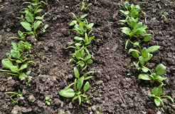 Shoots of spinach garden on a bed Stock Photography