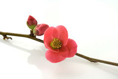 Shoots. Spring buds with blooming flowers Royalty Free Stock Image