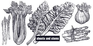 Shoots and stems set. Shoots, stems set. Chard, celery, asparagus, fennel isolated. Vegetarian food for menu, recipes, decoration kitchen items. White and black Stock Photo