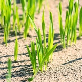Shoots of wheat closeup Royalty Free Stock Photos
