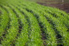 Shoots of winter wheat in rows Stock Images