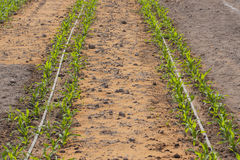 Shoots of young corn in the field (Peru) Stock Photography