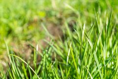 Shoots young green grass in the park. royalty free stock images