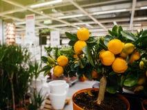 Shoppa på ikeaen för trädgårds- blommor och grönsaker och frukter Fotografering för Bildbyråer
