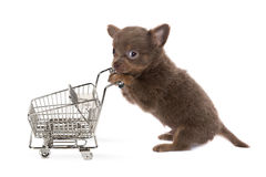Shopping dog. Funny little chihuahua puppy shopping with a trolley Stock Image