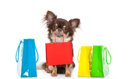 Shopping dog with bag. Chihuahua dog holding a shopping bag ready for discount and sale at the mall, isolated on white background royalty free stock images