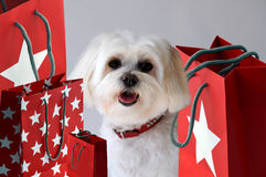 Shopping dog. Maltese lady dog after shopping, sitting in the middle of her shopping bags Royalty Free Stock Photos
