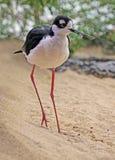 Shore Bird Stock Photo