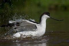 Shore bird Royalty Free Stock Image