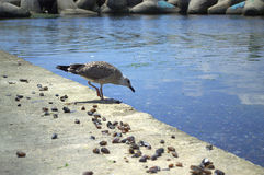 Shore bird hunting Royalty Free Stock Images