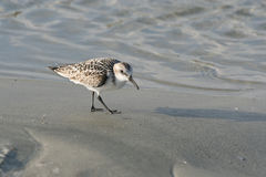 Shore Bird on Ocean Beach Stock Photography