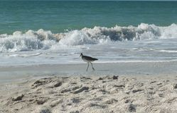 Shore Bird Stock Photography