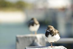 Shore bird resting on a cement pillar Royalty Free Stock Photography