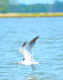 Shore Bird. Seagull Flying over water in Mary Holes Hoppers Island, MD Stock Photography