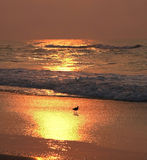 Shore bird at sunrise. A shore bird bathed in the golden glow of a sunrise over the atlantic ocean Royalty Free Stock Photography