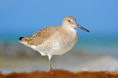 Free Shore Bird Willet, Sea Water Bird In The Nature Habitat. Animal On The Ocean Coast. White Bird In The Sand Beach. Beautiful Bird F Stock Photos - 84785833