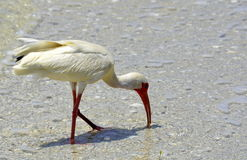 Shore birding Royalty Free Stock Images