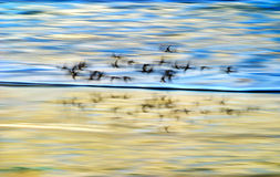Shore Birds In Motion Royalty Free Stock Photo