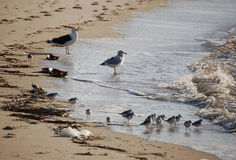 Sea gulls and sanderlings at waters edge Royalty Free Stock Images