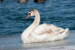 Shore Birds Waterfowl Juvenile Mute Swan on Lake Ice. In Detroit River royalty free stock photo